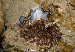 Flat worms Acanthozoon sp. Mating You can see the reprodu... by Gabriele Gabry 